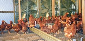 パドにより夏場も過ごしやすい鶏舎